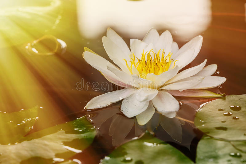 flor de lótus que floresce na lagoa imagens de stock royalty free