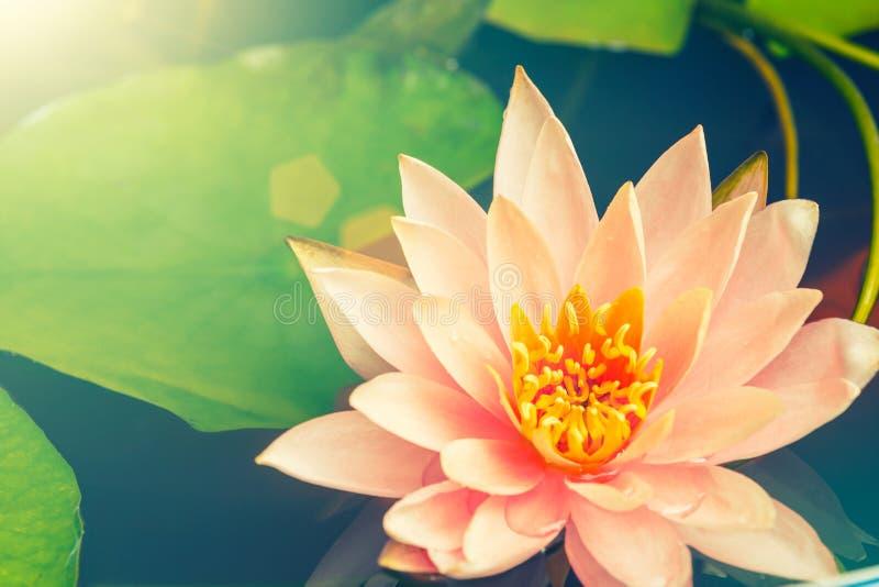 flor de lótus que floresce na lagoa fotos de stock