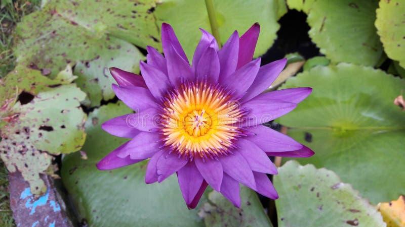 Flor de lótus roxa imagens de stock royalty free