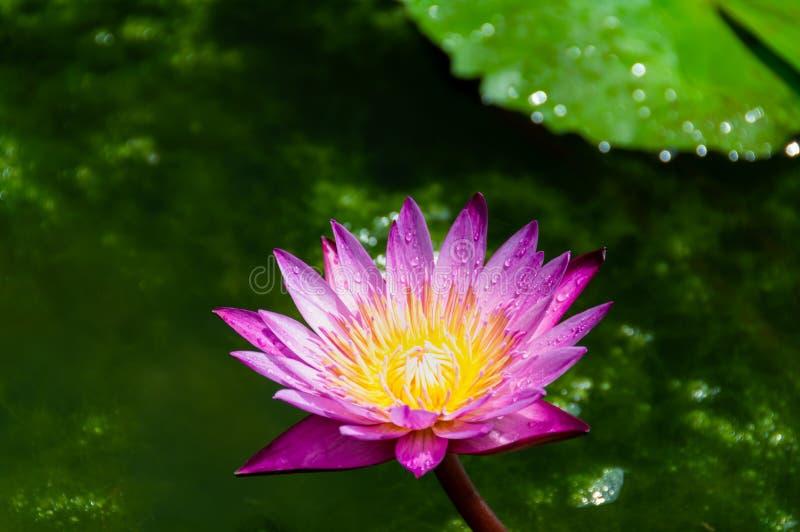 Flor de lótus roxa colorida doce imagens de stock