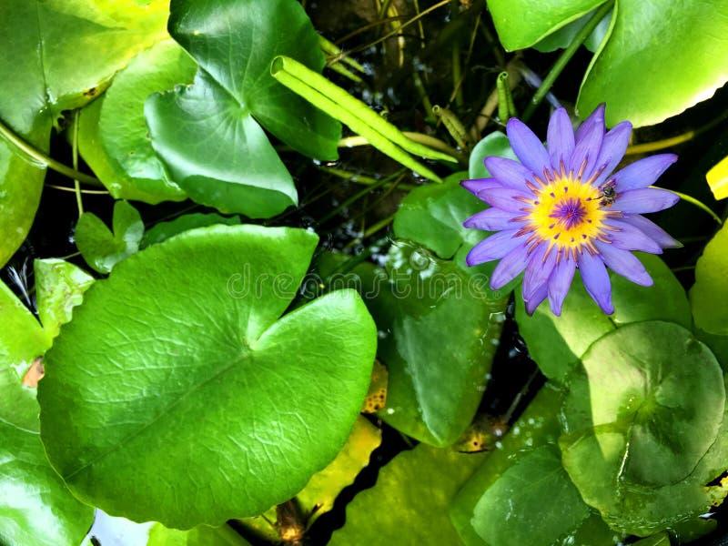 A flor de lótus roxa com pólen amarelo está florescendo na lagoa fotografia de stock