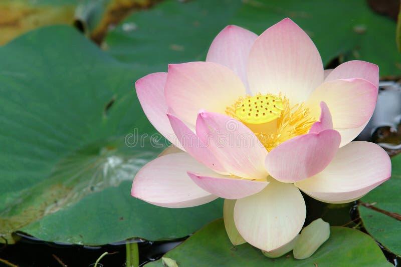Flor de lótus sagrado (ascendentes próximos) foto de stock