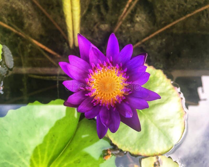 A flor de lótus violeta fresca com pólen amarelo está florescendo na lagoa fotografia de stock royalty free