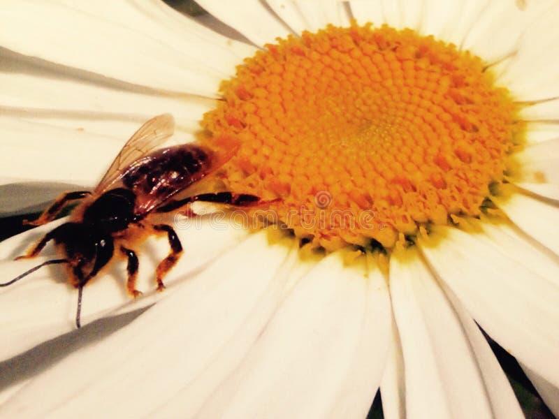 Flor de la abeja fotografía de archivo libre de regalías