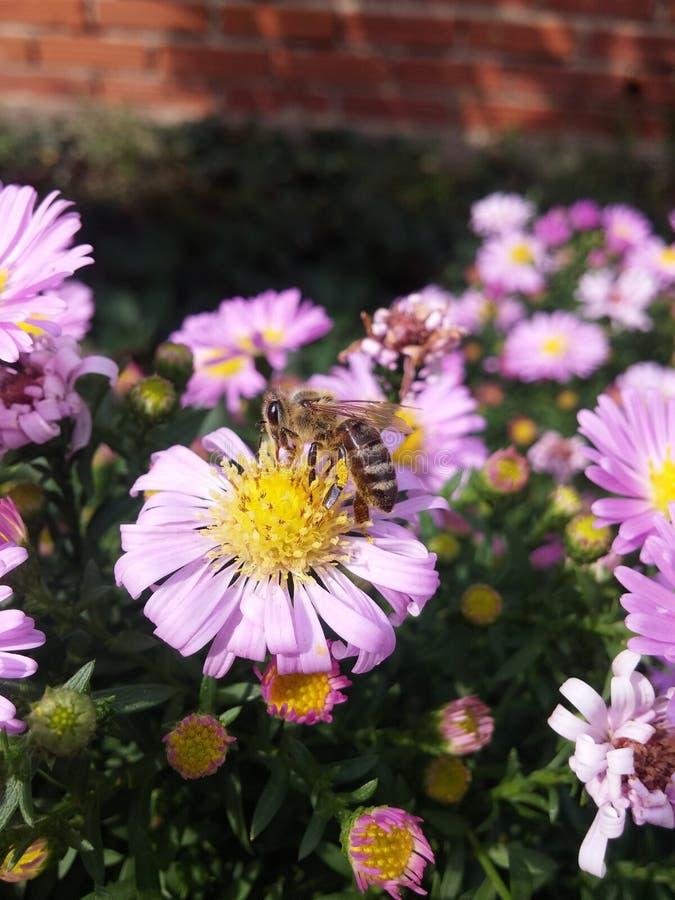 Flor de la abeja fotografía de archivo