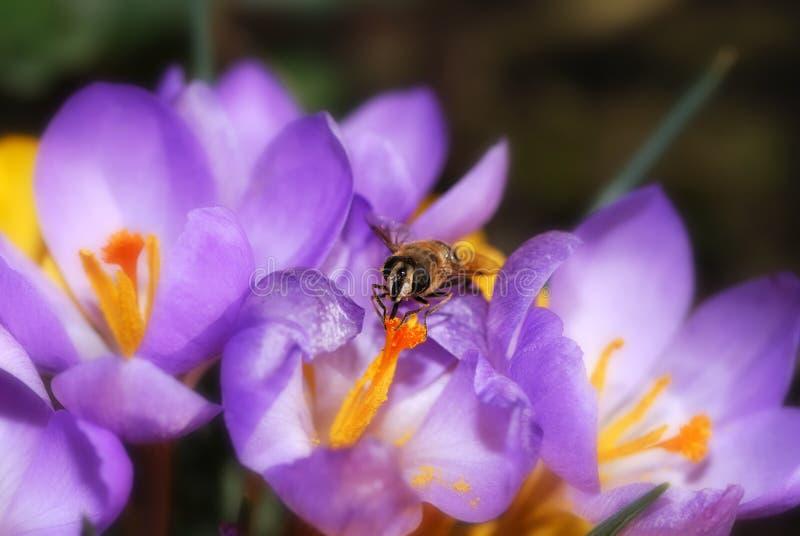 Flor de la abeja y del azafrán fotos de archivo libres de regalías