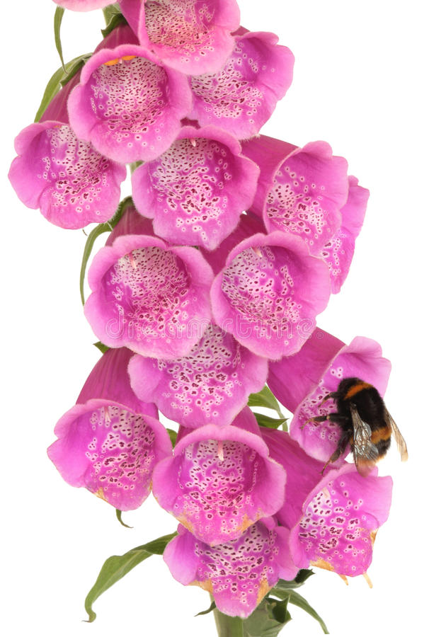Flor de la abeja y del Foxglove imágenes de archivo libres de regalías
