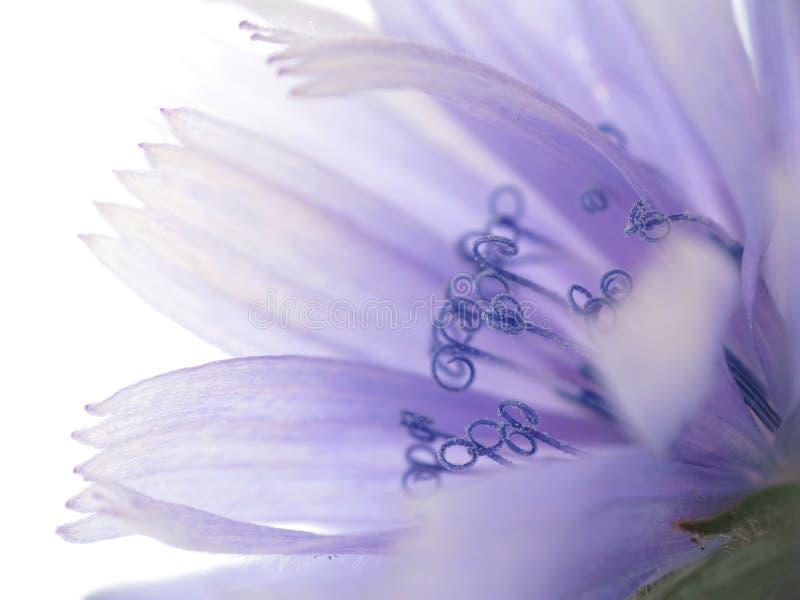 Flor de la achicoria foto de archivo
