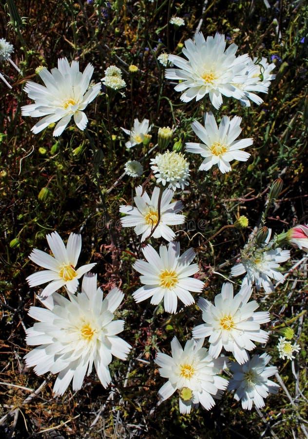 Flor de la achicoria del desierto, parque de estado del desierto de Anza Borrego fotografía de archivo