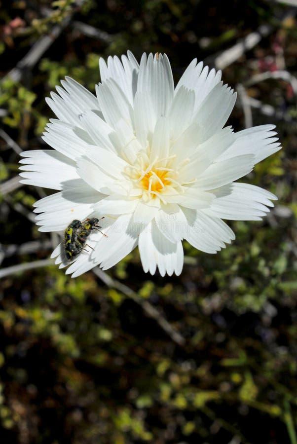 Flor de la achicoria del desierto, parque de estado del desierto de Anza Borrego fotos de archivo libres de regalías