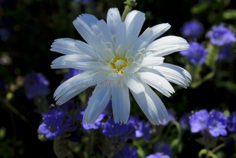 Flor de la achicoria del desierto, parque de estado del desierto de Anza Borrego foto de archivo libre de regalías