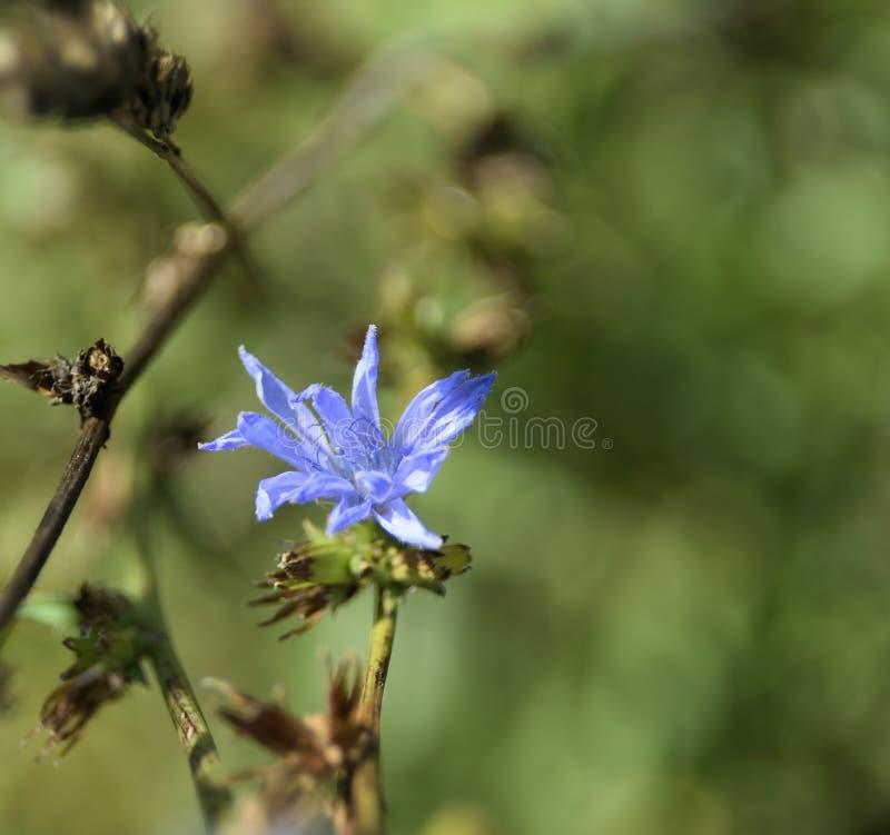 Flor de la achicoria en la luz de la mañana imagenes de archivo