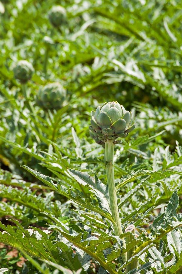Flor de la alcachofa en el campo foto de archivo
