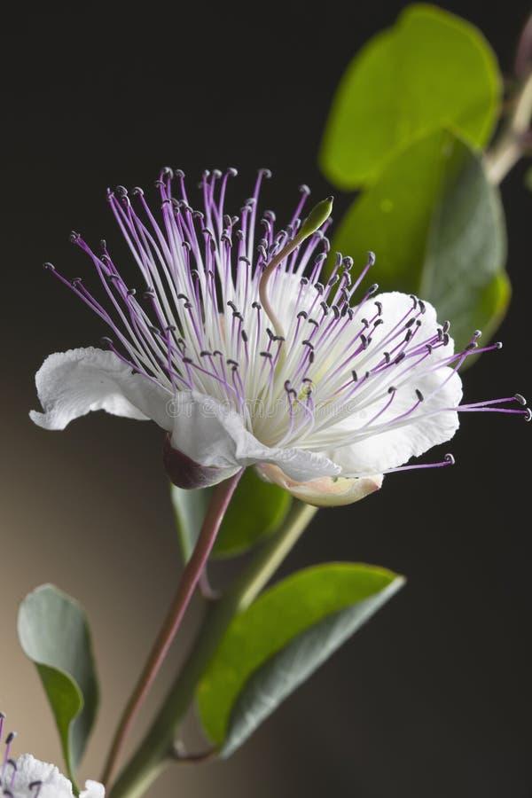 Flor de la alcaparra foto de archivo libre de regalías