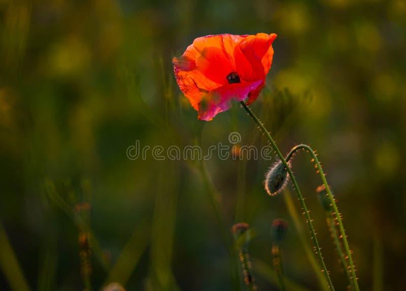 Flor de la amapola fotografía de archivo