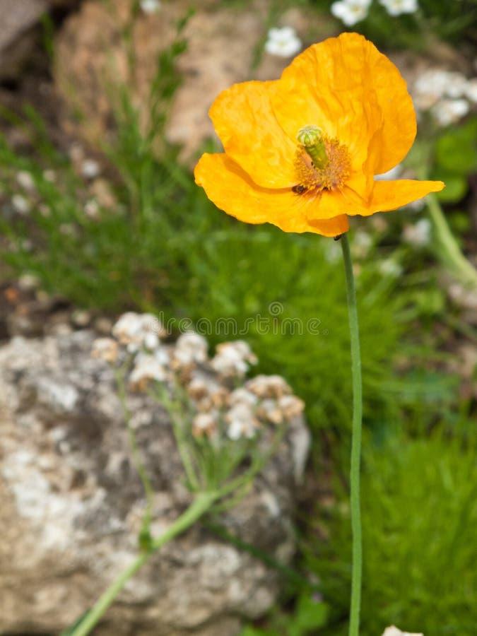 Flor de la amapola foto de archivo libre de regalías