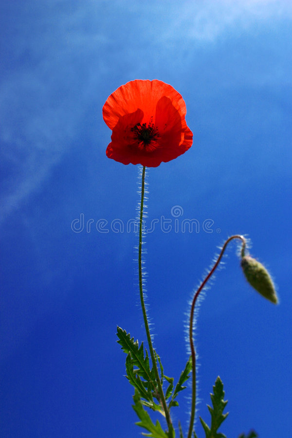 Flor de la amapola imagenes de archivo