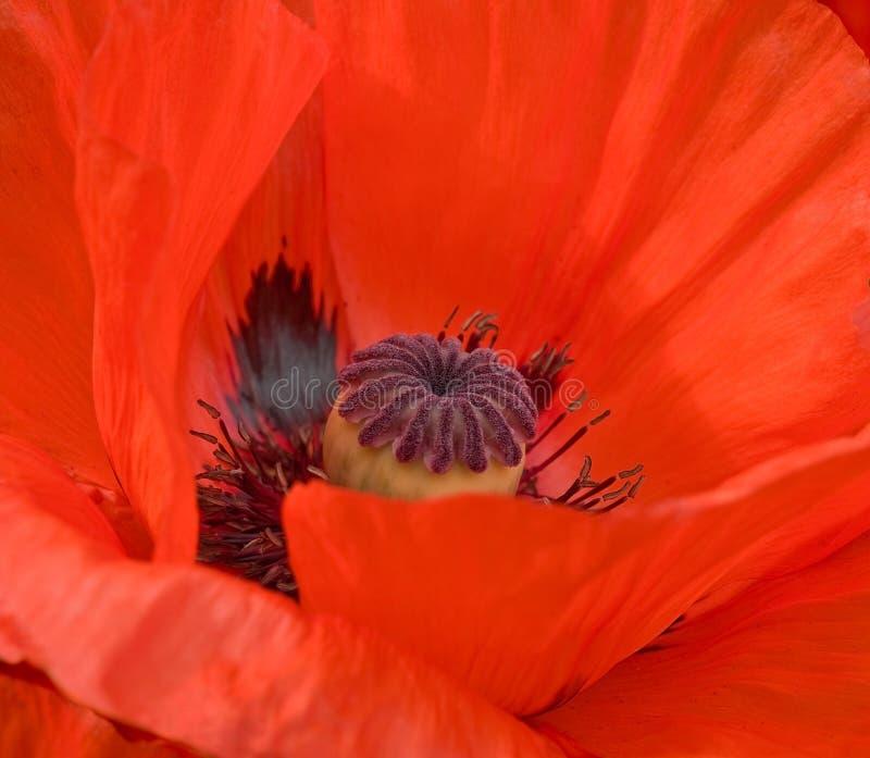 Download Flor de la amapola imagen de archivo. Imagen de primer - 7289435
