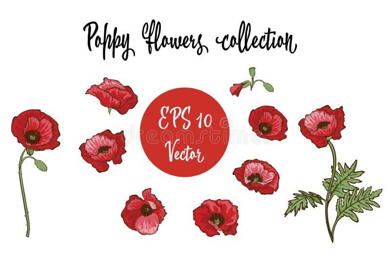 Flor de la amapola Amapolas rojas aisladas en el fondo blanco Ilustración del vector libre illustration