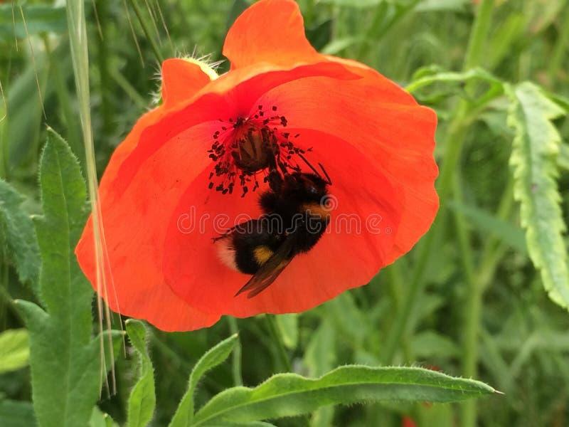 Flor de la amapola con la abeja fotos de archivo libres de regalías