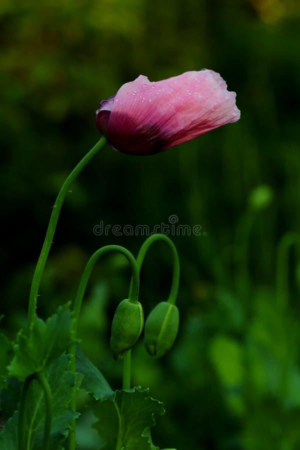 Flor de la amapola con las gotas de agua imágenes de archivo libres de regalías