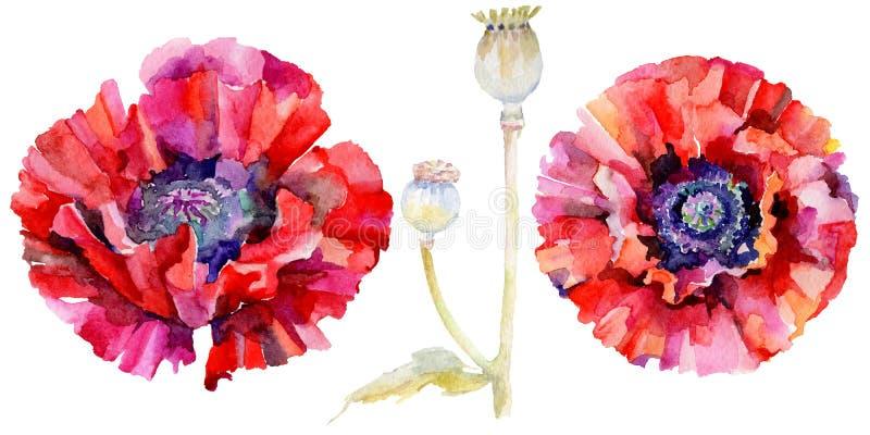 Download Flor De La Amapola Del Wildflower En Un Estilo De La Acuarela Aislada Stock de ilustración - Ilustración de follaje, ilustración: 100527463
