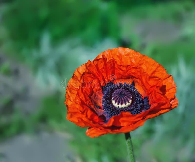 Flor de la amapola en el jardín fotos de archivo
