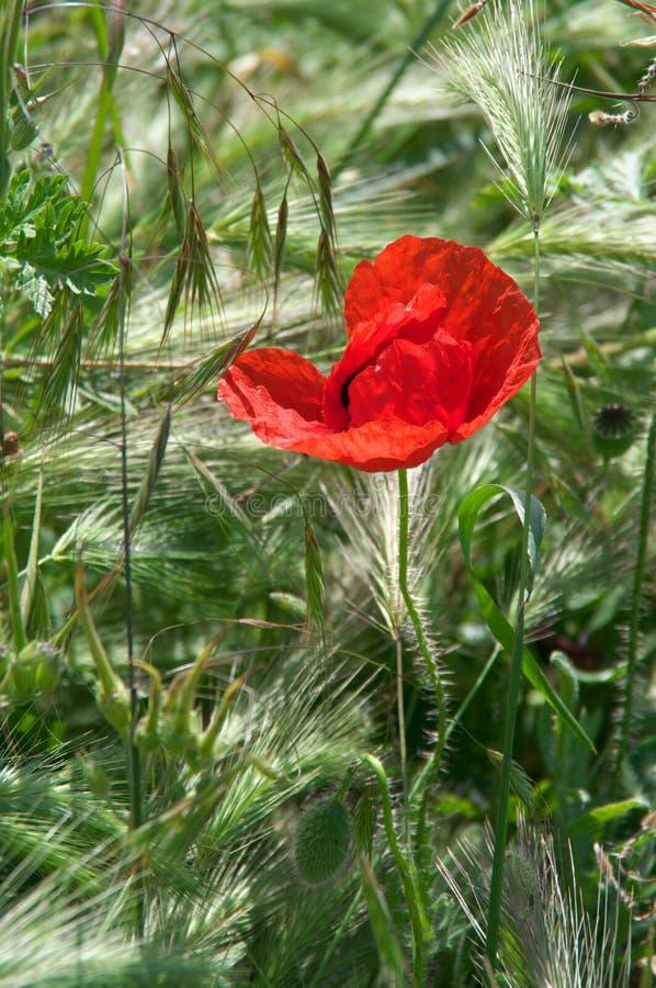 Flor de la amapola en hierba foto de archivo