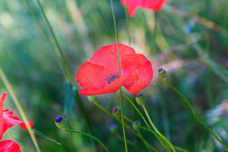 Flor de la amapola en la hierba fotos de archivo