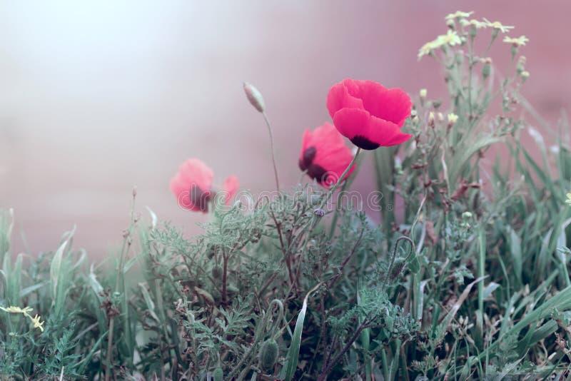 Flor de la amapola en hierba fotografía de archivo