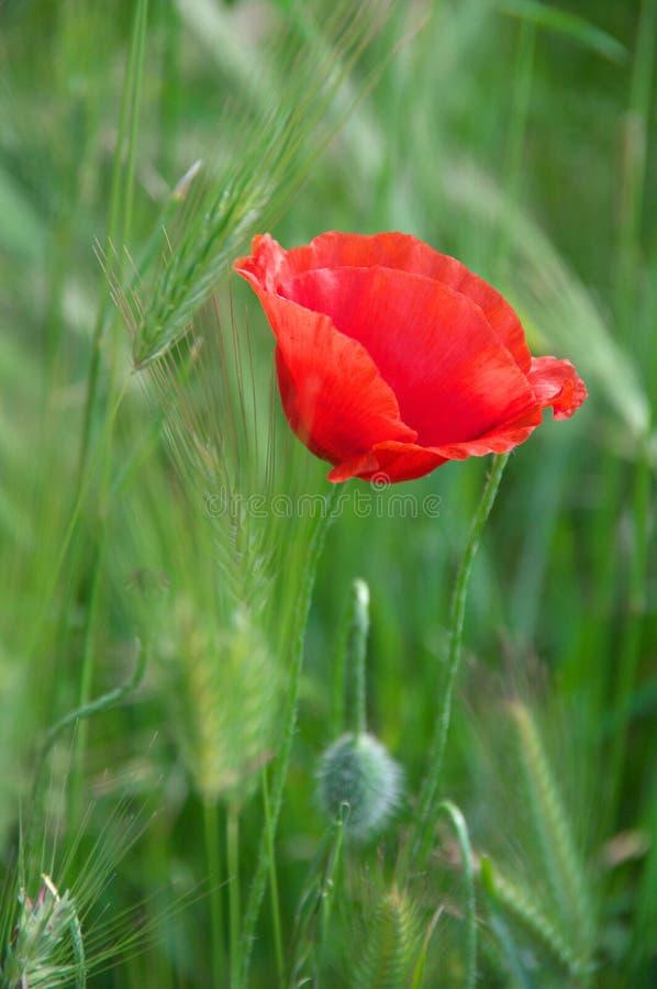 Flor de la amapola en hierba imagenes de archivo