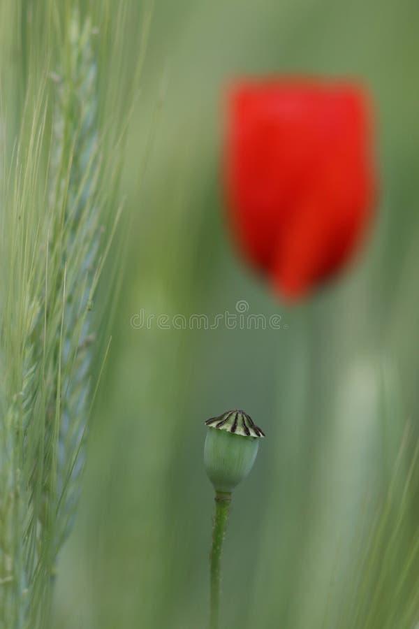 Flor de la amapola en un campo de la cebada con una flor floreciente de la amapola en la parte posterior fotos de archivo