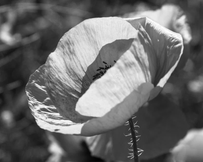 Flor de la amapola negra y blanca foto de archivo