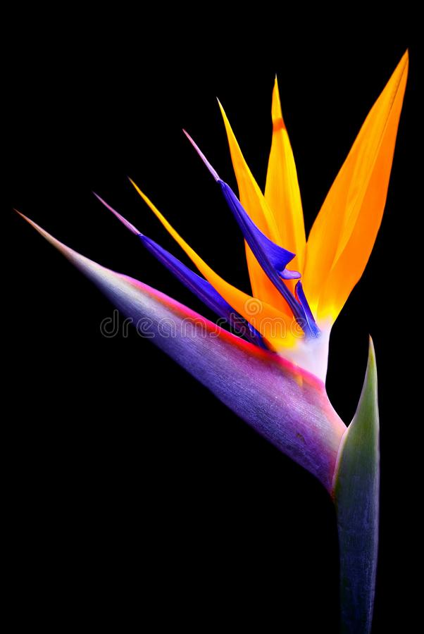 Flor de la ave del paraíso aislada en fondo negro imagen de archivo libre de regalías
