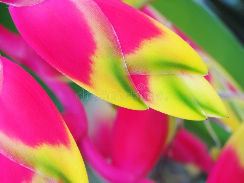 Flor de la ave del paraíso de Heliconia fotos de archivo