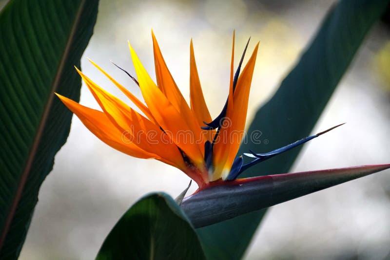 Flor de la ave del paraíso en el jardín botánico de Pretoria fotografía de archivo