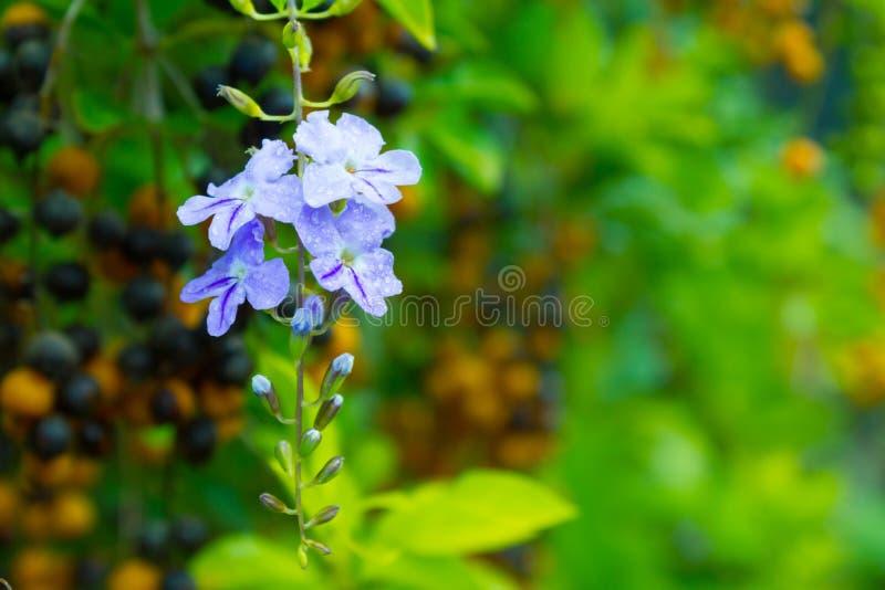 Flor de la baya de paloma foto de archivo libre de regalías