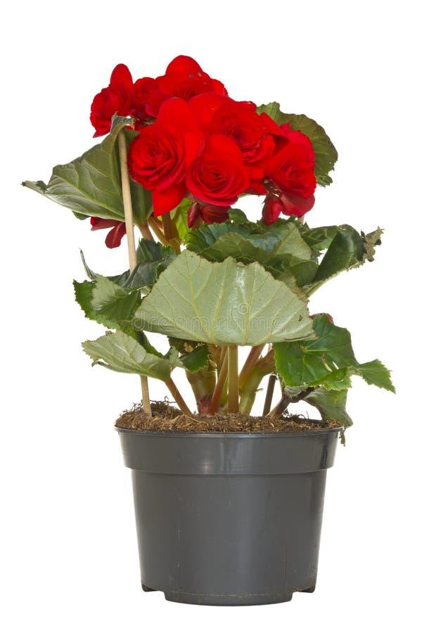 Flor de la begonia en un crisol fotografía de archivo