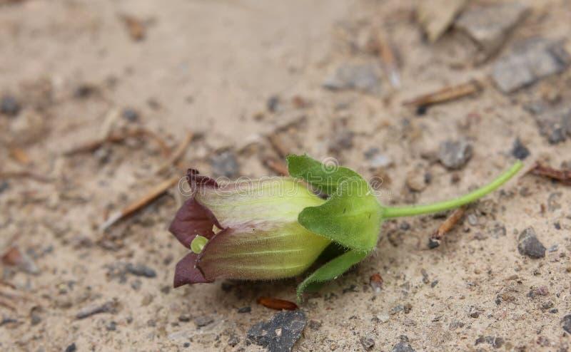 Flor de la belladona fotos de archivo