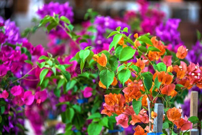 Flor de la buganvilla multicolora fotos de archivo