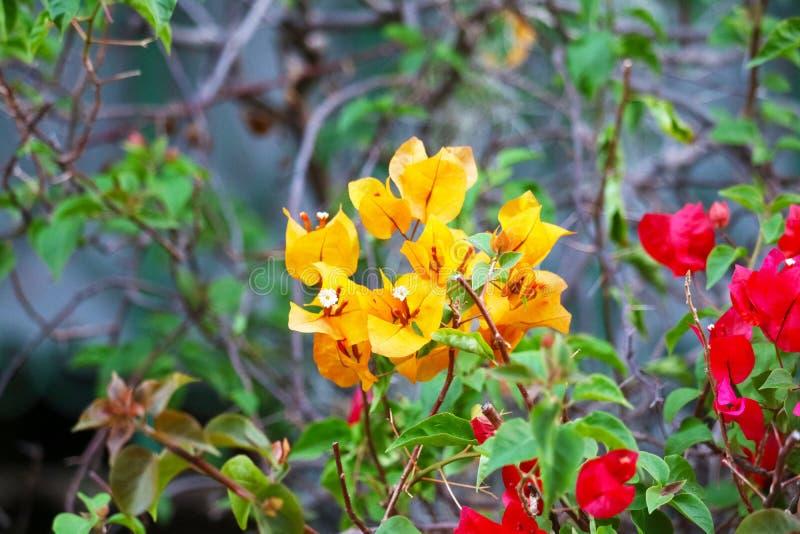 Flor de la buganvilla que florece en hojas verdes de la falta de definición del jardín foto de archivo