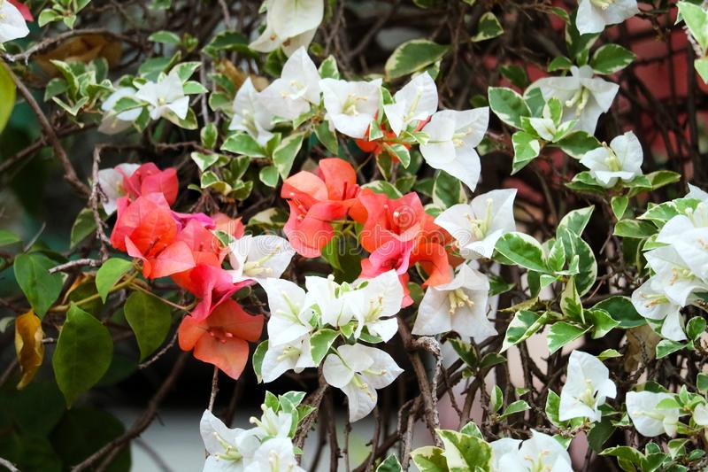 Flor de la buganvilla que florece en hojas verdes de la falta de definición del jardín imagen de archivo libre de regalías