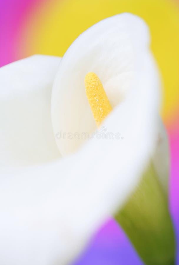 Flor de la cala fotografía de archivo libre de regalías
