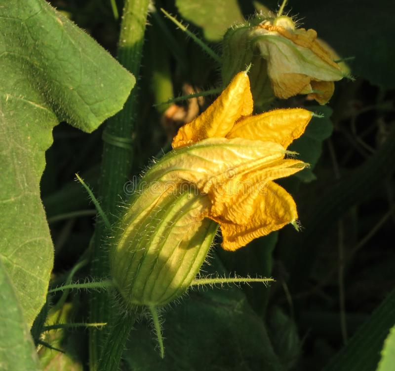Flor de la calabaza amarilla entre las hojas en el jardín fotos de archivo