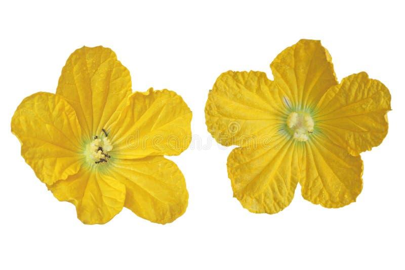 Flor de la calabaza de la cera fotos de archivo libres de regalías