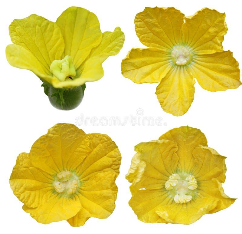 Flor de la calabaza del invierno fotos de archivo