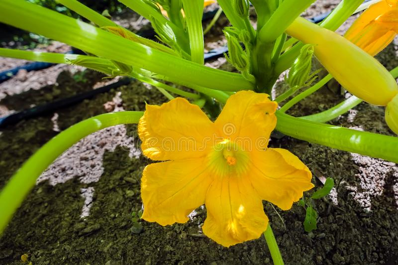 Flor de la calabaza de verano en la plena floración fotografía de archivo libre de regalías