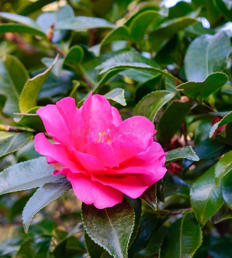 Flor de la camelia que florece en el jardín foto de archivo