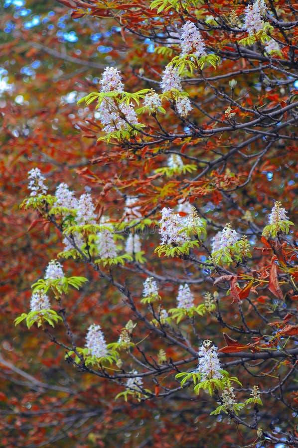 Flor de la castaña fotografía de archivo