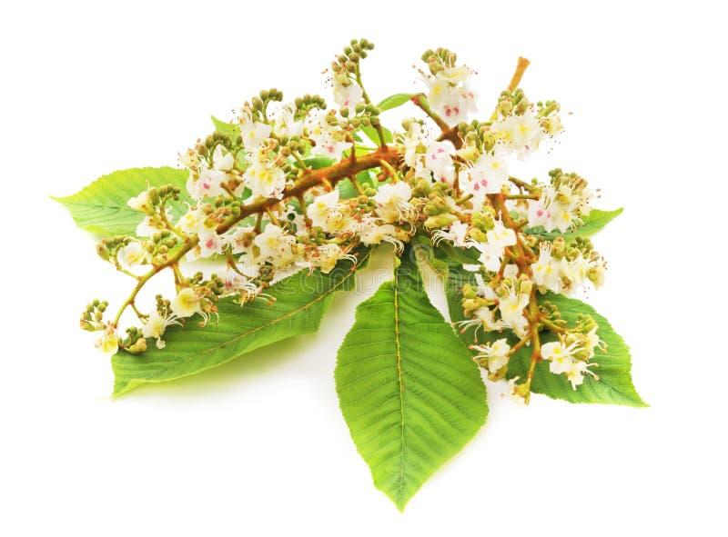 Flor de la castaña con las hojas fotos de archivo libres de regalías